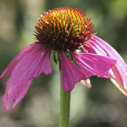 kruiden-echinacea-rode-zonnehoed.jpg