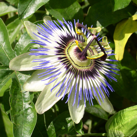 kruiden-passiflora-incarnata.jpg