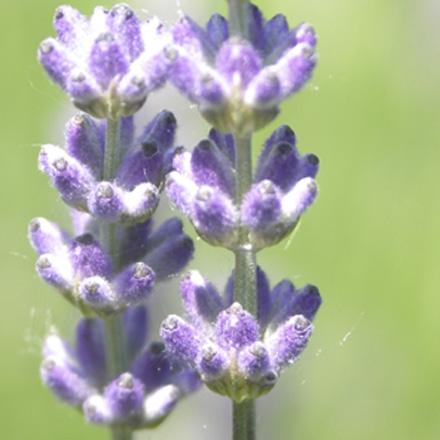 lavendel-aromatisch-water.jpg
