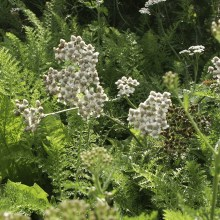 kruiden-achillea-millefolium-duizendblad.jpg
