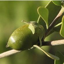 olie-wax-jojoba-biologisch.jpg